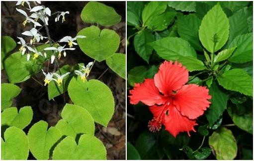 Nhận biết cây dâm dương hoắc (trái) và cây dâm bụt (phải).
