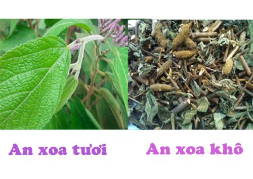 Sử dụng cây an xoa khô có tác dụng chữa bệnh gan hiệu quả hơn lá an xoa tươi. Không sử dụng quả an xoa vì gây ngứa.