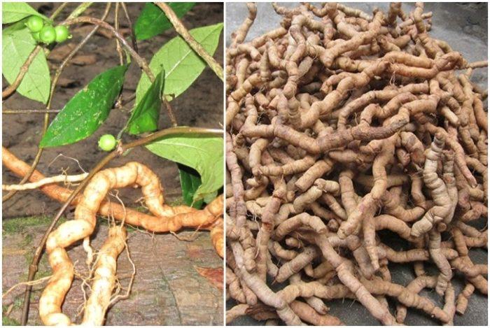Củ ba kích tím trong tự nhiên và sau khi được thu hoạch.