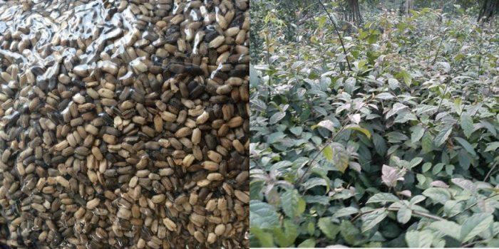 Cách gieo trồng hạt xạ đen như thế nào đúng chuẩn, đảm bảo tỉ lệ nảy mầm 98%