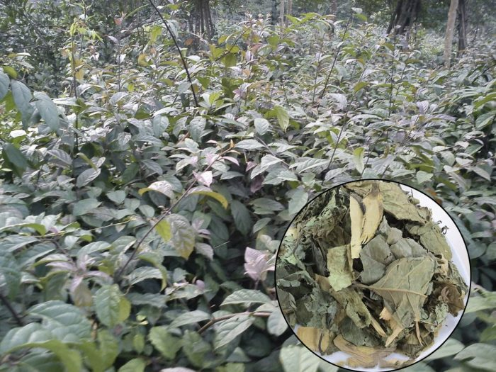 Cách trồng cây xạ đen không hề khó