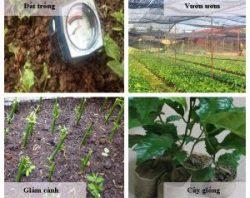 Cách trồng cây xạ đen đúng nhất cần chọn đất trồng, chuẩn bị vườn ươm...