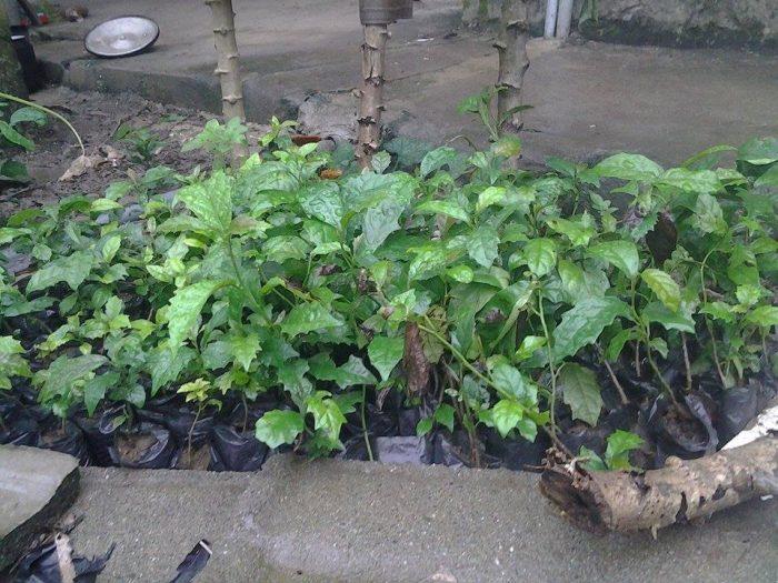 Cách trồng và chăm sóc cây xạ đen khá đơn giản.