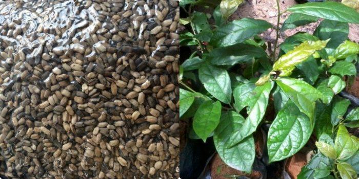 Kỹ thuật trồng và chăm sóc cây xạ đen