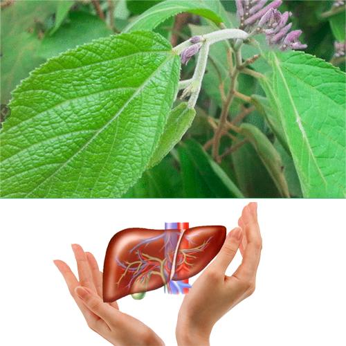 Cây an xoa có tác dụng đặc biệt hiệu quả trong việc điều trị các bệnh về gan.