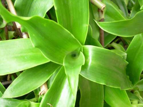 Cây lược vàng là loại thảo dược chữa ung thư rất tốt.