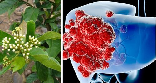 Cây xạ đen - Cây thuốc chữa bệnh ung thư gan hiệu quả