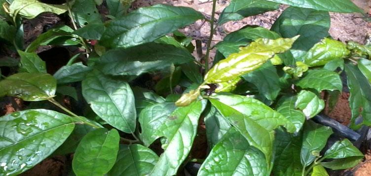 Xạ đen cũng là một trong cây thuốc Nam chữa ung thư dạ dày tốt