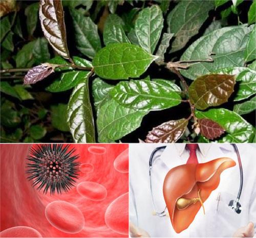 Cây xạ đen chữa được bệnh gì? Tác dụng của xạ đen đặc biệt hiệu quả nhất với bệnh ung thư và bệnh gan.