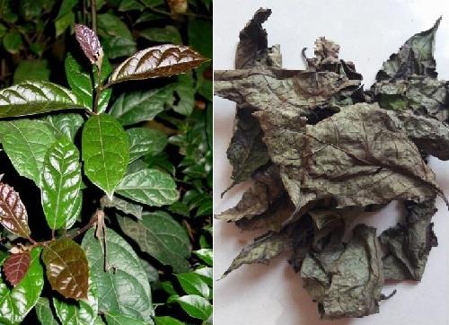Cây xạ đen là cây gì? Xạ đen là cây thuốc quý chứa các dược chất rất tốt cho sức khỏe con người.