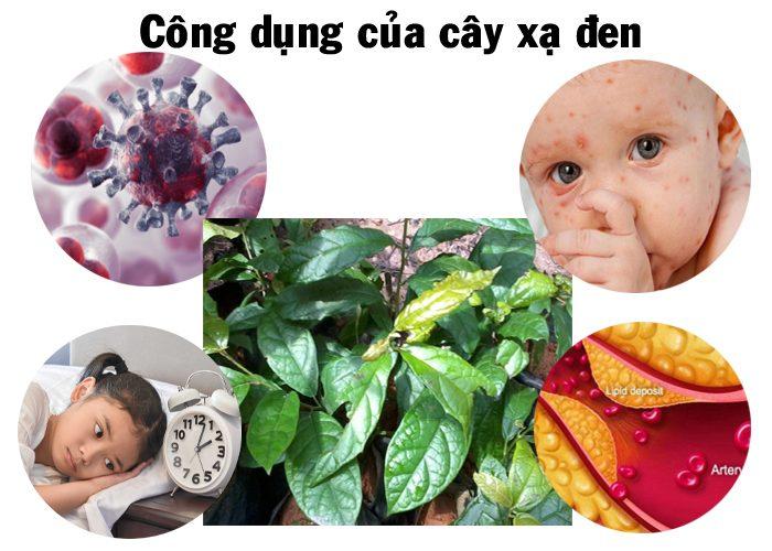Tác dụng chữa bệnh của cây xạ đen hỗ trợ điều trị bệnh ung thư và bệnh gan hiệu quả