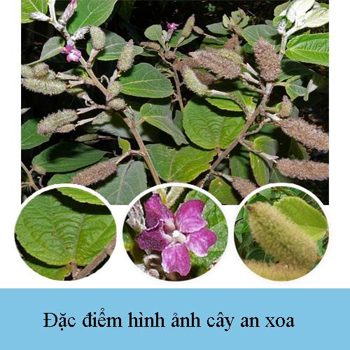 Hình ảnh cây, lá, hoa, quả của an xoa trong tự nhiên.