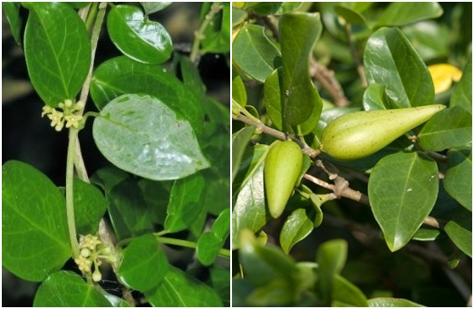 Dây thìa canh là gì? Hình ảnh lá, hoa, quả, thân cây thìa canh trong tự nhiên.
