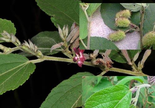 Các cây thuốc Nam được sử dụng nhiều trong điều trị bệnh ung thư gan