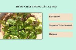 Các thành phần dược chất trong cây lá xạ đen có công dụng chữa bệnh cực tốt.