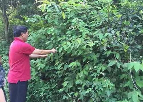 giá cây an xoa bao nhiêu tiền 1kg