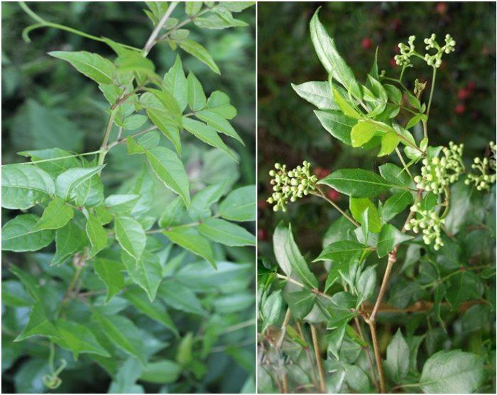 Giá chè dây bao nhiêu tiền 1kg? Hình ảnh cây và hoa chè dây trong tự nhiên.