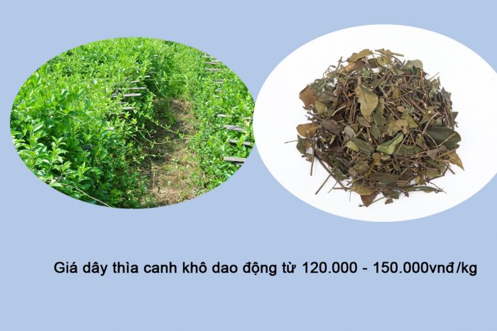 Giá dây thìa canh bao nhiêu tiền 1kg với loại khô trên thị trường