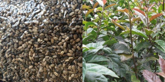 Giống cây xạ đen được trồng làm cây thuốc quý trong vườn nhiều gia đình