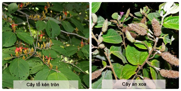 Hình ảnh phân biệt cây an xoa và cây tổ kén tròn