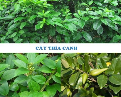 Đặc điểm hình dáng nhận dạng cây thìa canh qua lá, hoa, quả