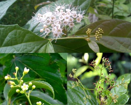 Đặc điểm của hoa cây xạ đen