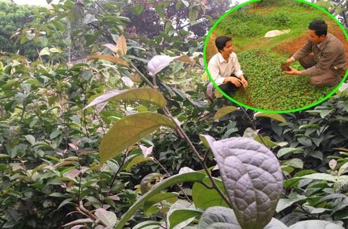 Kỹ thuật trồng xạ đen phải đảm bảo khí hậu, thổ nhưỡng và quá trình chăm sóc cẩn thận.