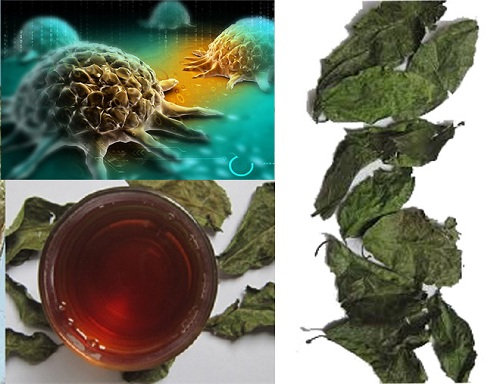 Lá cây xạ đen có tác dụng đặc biệt hiệu quả với bệnh ung thư.