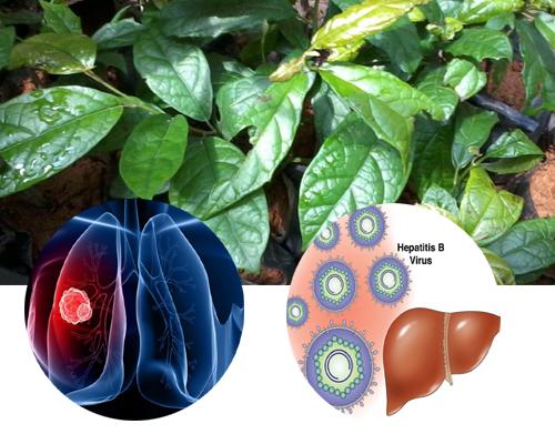 Nhiều nghiên cứu đã chứng minh lá xạ đen hỗ trợ điều trị bệnh ung thư và bệnh gan