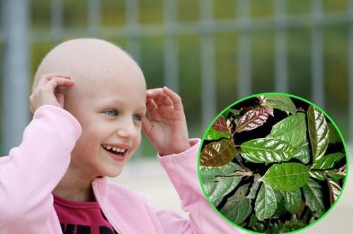 Lá xạ đen chữa ung thư đã được khoa học chứng minh.