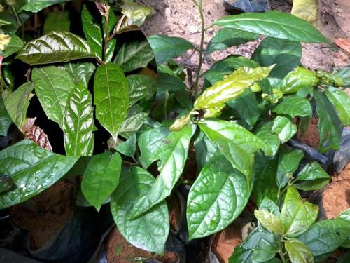 Đặc điểm lá cây xạ đen