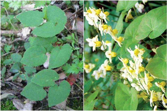 Người dùng cần lưu ý về đặc điểm lá và hoa khi chọn mua dâm dương hoắc.