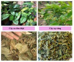 Nhận biết lá cây xạ đen với lá cây xạ vàng tươi khô.