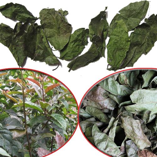 Xạ đen là cây thuốc quý trong Đông y. Cây xạ đen có những đặc điểm khác hẳn với các loại cây thuộc họ xạ khác.
