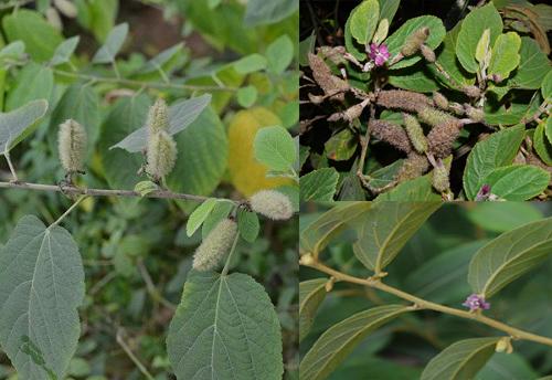 Tác dụng của cây an xoa có nhiều trong thân và lá cây
