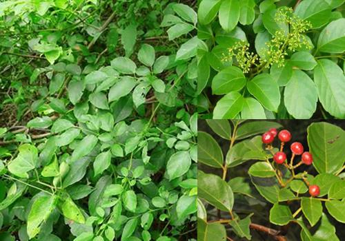 Chè dây rừng có tác dụng chữa bệnh rất tốt. Lá non và thân cây chè dây chứa nhiều hoạt chất chữa bệnh hơn khi cây ra hoa và quả