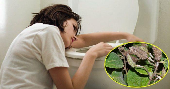 Bụng nôn nao, cồn cào khó chịu, thậm chí tiêu chảy là cơ chế đào thải độc tố của cây an xoa