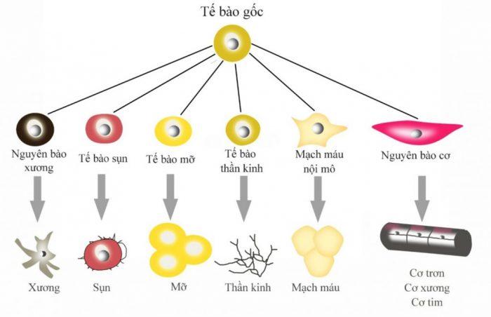 Thông tin tìm hiểu tế bào gốc là gì và tác dụng chữa bệnh được nhiều người quan tâm