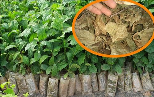 Kỹ thuật trồng cây xạ đen cần đảm bảo theo đúng quy trình.