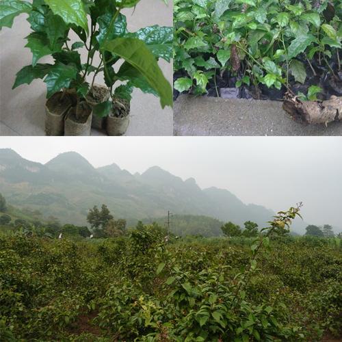 Trồng cây xạ đen nhiều nhất ở tỉnh Hòa Bình.