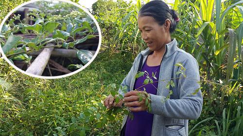 Kỹ thuật trồng chè dây phải đảm bảo đất tơi xốp, thoáng đãng, thời gian trồng thích hợp.