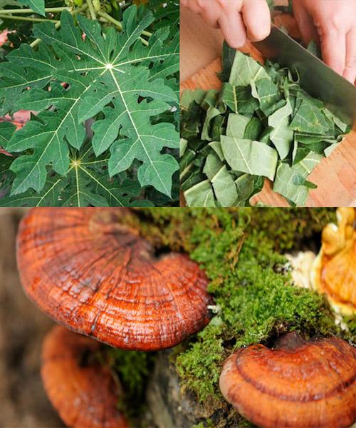 Dùng lá đu đủ, nấm lim xanh chữa ung thư dạ dày di căn là phương pháp phổ biến
