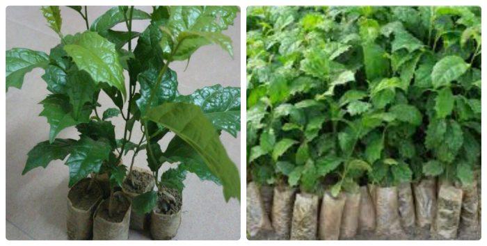 Cây giống xạ đen được bán tại nhiều vườn ươm Hòa Bình.