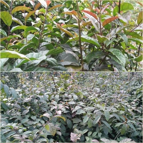 Cây xạ đen trồng được được ở nhiều nơi