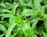 Chữa bệnh ung thư bằng cây lược vàng: Công dụng và cách dùng