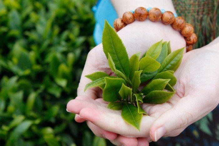 Trà xanh là thực phẩm chống ung thư cổ tử cung hiệu quả