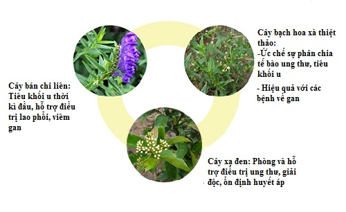 Kết hợp bán chi liên, bạch hoa xà thiệt thảo, xạ đen chữa ung thư