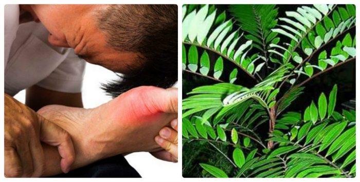 Tác dụng chữa bệnh gout của cây mật nhân giúp bệnh nhân giảm cảm giác đau đớn.