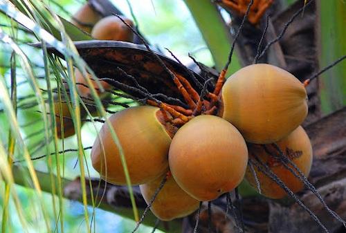 Dừa dâu - bài thuốc Nam chữa ung thư máu hiệu quả