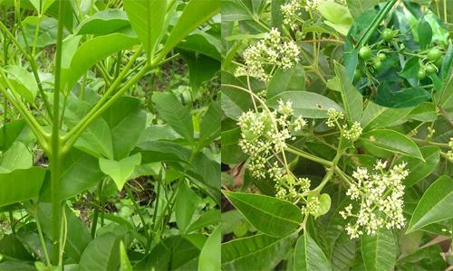 Đặc điểm nhận biết cây chè đắng qua hình ảnh thân, lá, hoa, quả Nhận biết trà đắng thật - giả